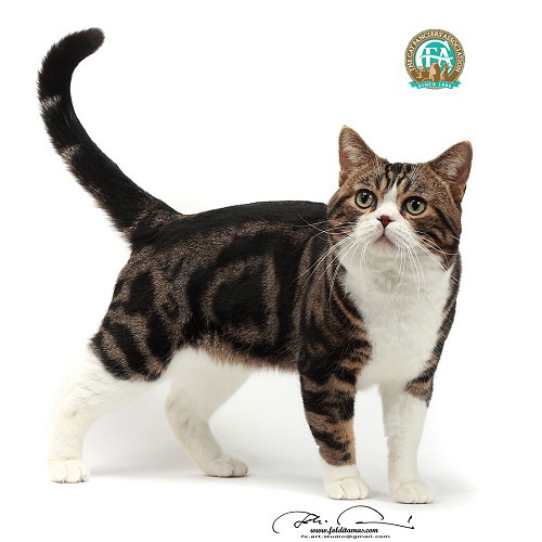 Brown Tabby & White American Shorthair Male Photo Foldi Tamas. Gc