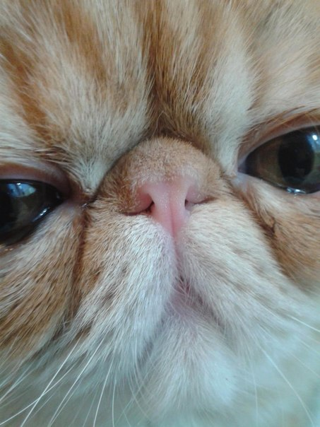 Ринопластика для кота